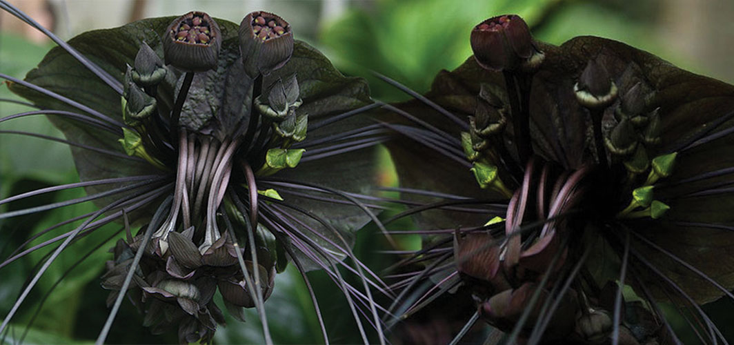 Chinese Black Batflowers