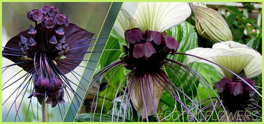 Bat Flower- A Guide To Gothic Garden Flowers For A Nightmare-Free Garden - Horror Land