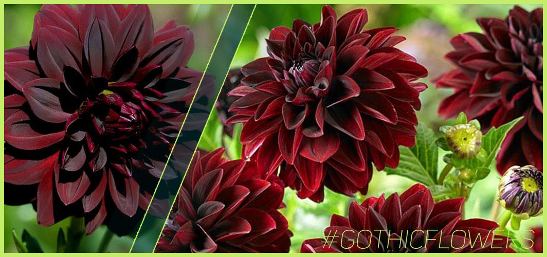 Black Dahlia  - A Guide To Gothic Garden Flowers For A Nightmare-Free Garden - Horror Land