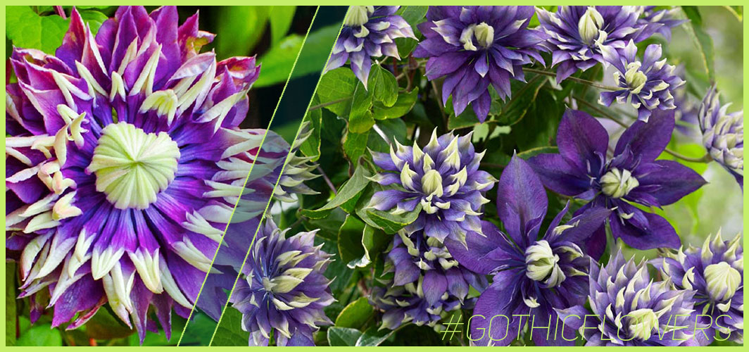 Clematis Taiga - A Guide To Gothic Garden Flowers For A Nightmare-Free Garden - Horror Land