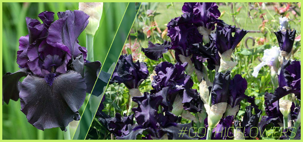 Iris 'Hello Darkness' - A Guide To Gothic Garden Flowers For A Nightmare-Free Garden - Horror Land