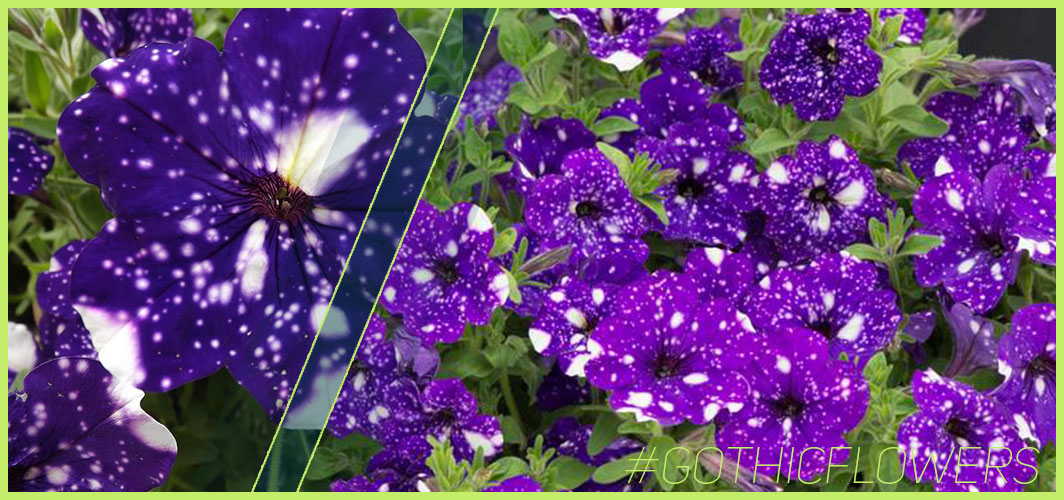 Night Sky Petunia - A Guide To Gothic Garden Flowers For A Nightmare-Free Garden - Horror Land