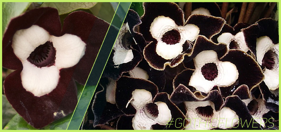 """Panda-Face """"Ling Ling"""" Ginger flower - A Guide To Gothic Garden Flowers For A Nightmare-Free Garden - Horror Land"""