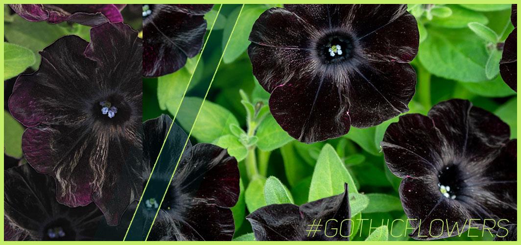 Petunia Black Velvet - A Guide To Gothic Garden Flowers For A Nightmare-Free Garden - Horror Land