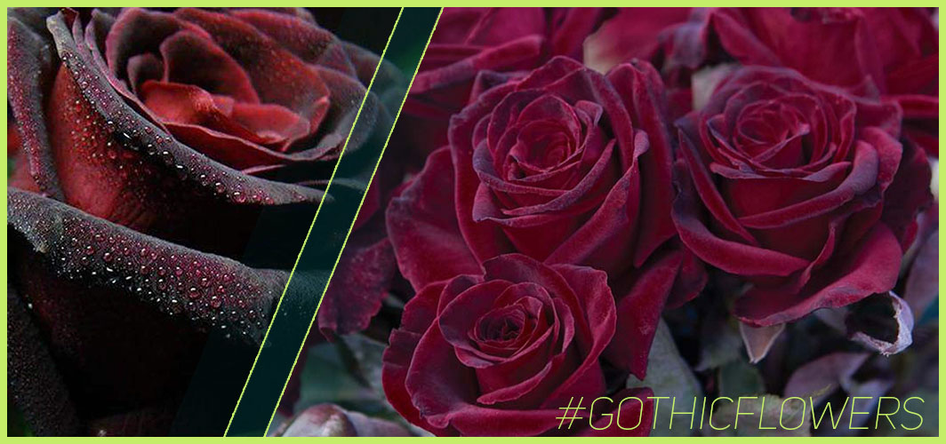 Baccara Rose  - A Guide To Gothic Garden Flowers For A Nightmare-Free Garden - Horror Land